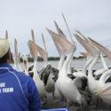pelican-feeding